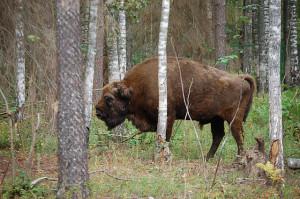 Bison in de kleine dierentuin van Berezina Reservaat.